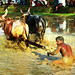 In a Bull Race, The Jockey Generally Gets to Eat Mud !!!