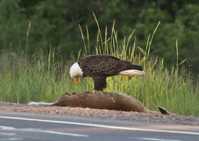 Bald Eagle feeding on deer carcass
