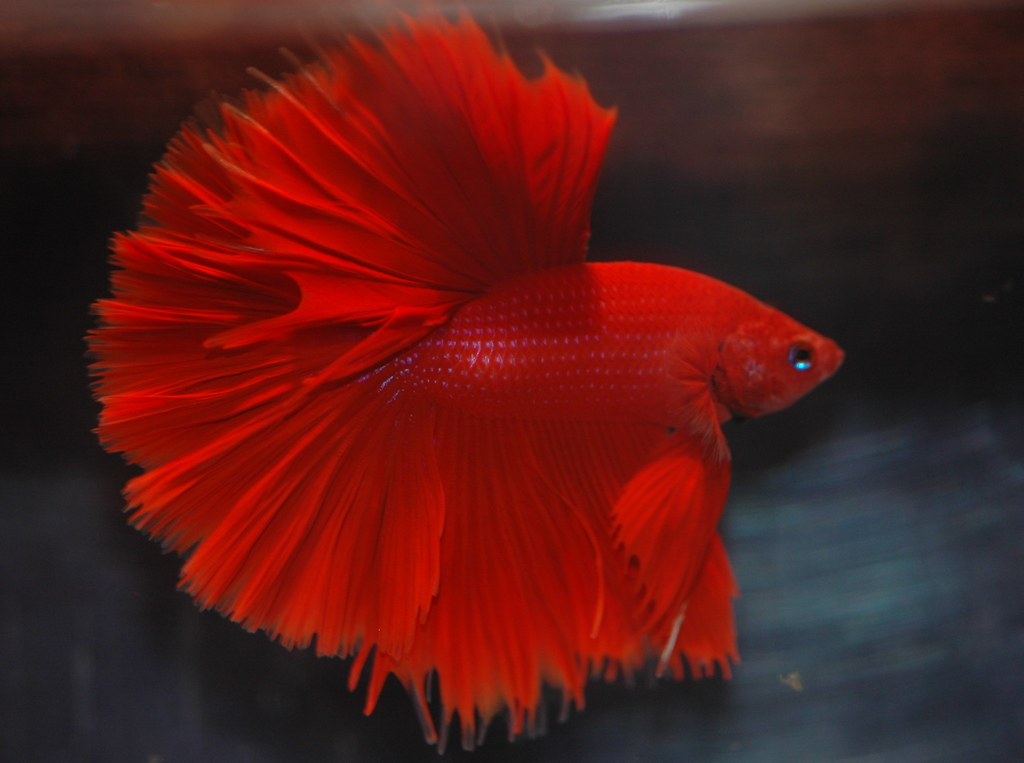 Hm red m sarawut daniella vereeken flickr for Betta fish sleeping