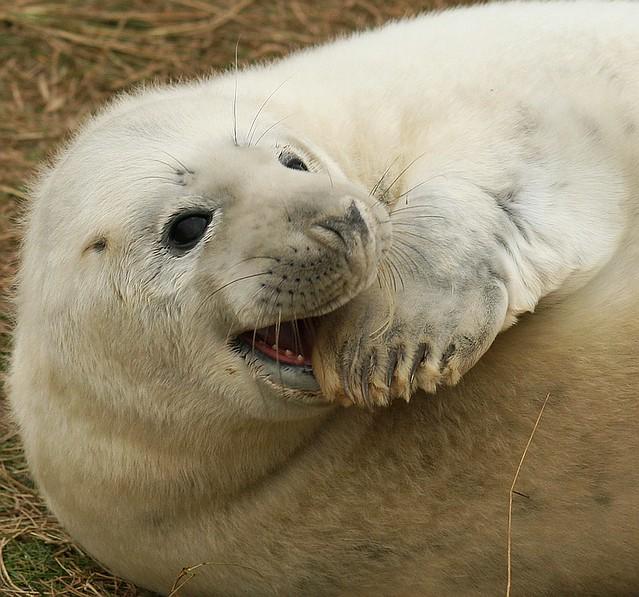 Grey Seal Pup, Halichoerus