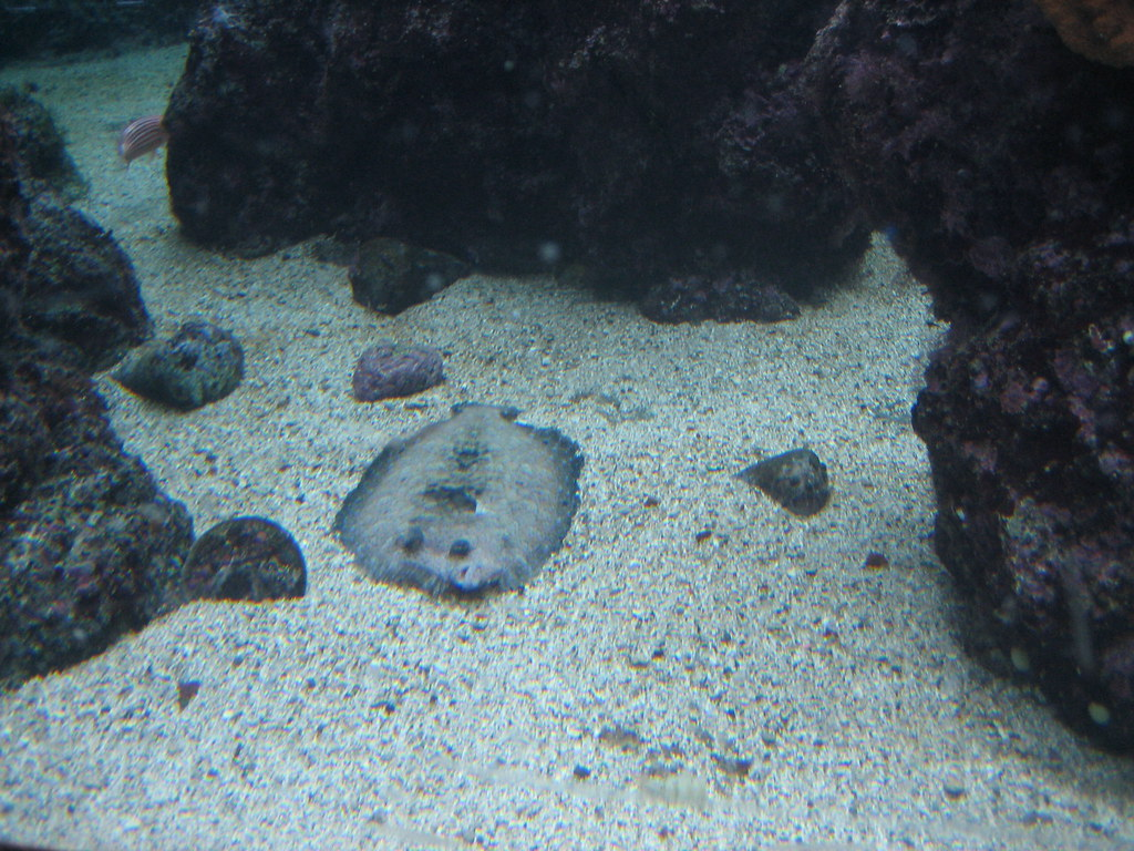 Flying Carpet Fish This Is A Sole Which Is Also Called