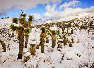 Joshua Trees in Snow | by sandy.redding