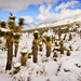 Joshua Trees in Snow