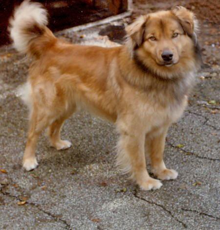 German Shepherd and Golden Retriever | Isn't he adorable ...