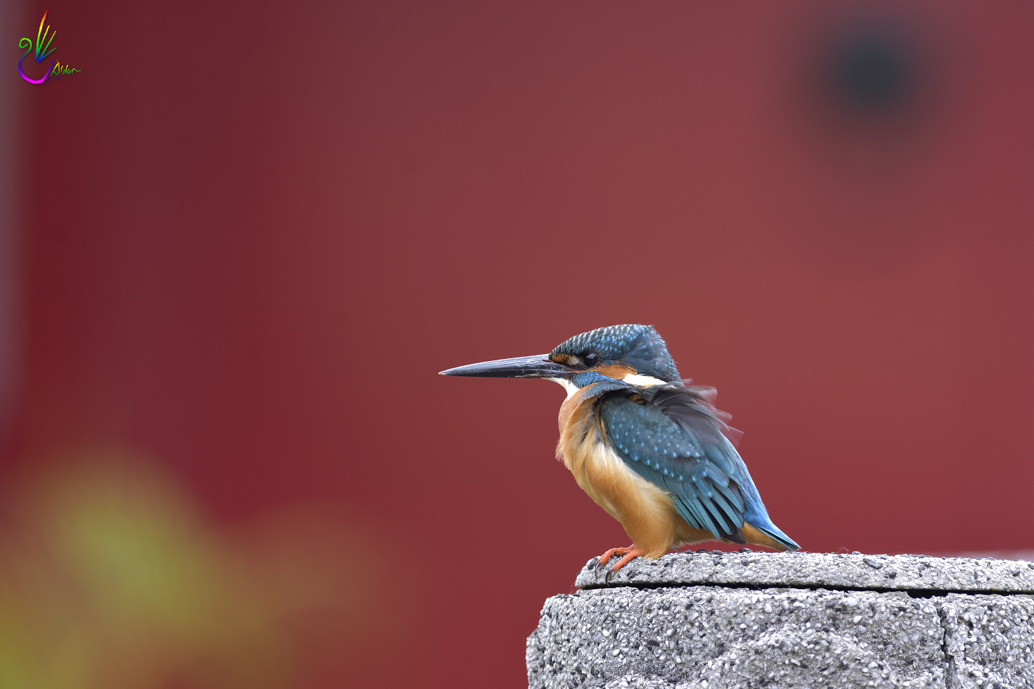 Common_Kingfisher_1230