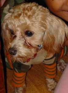 458407598 San Diego Craigslist Pets Lost Poodle Reply To Flickr