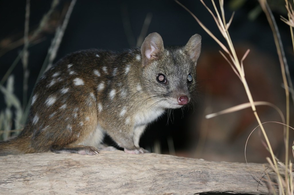 western_quoll.gif - 81.4 K Western Quoll ...