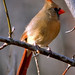 Northern Cardinal - Cardinalis cardinalis - Female