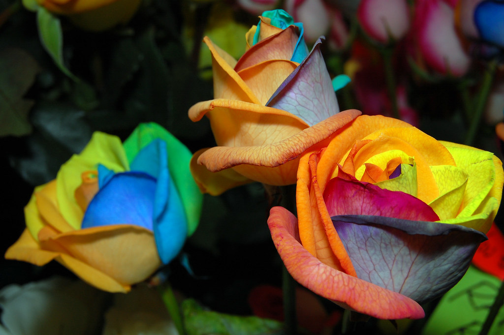 Multi colored roses real roses that have been injected for Pictures of multi colored roses