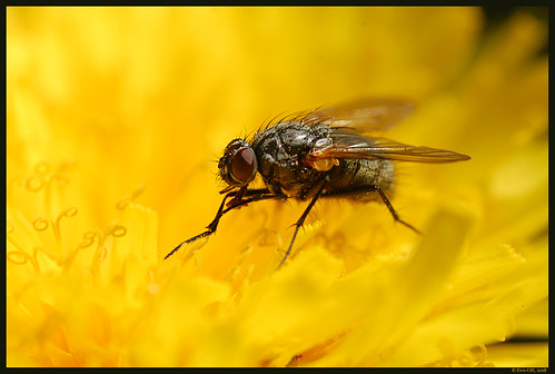 Fly on Dandelion / Kärbes Võilillel | by Eemeez