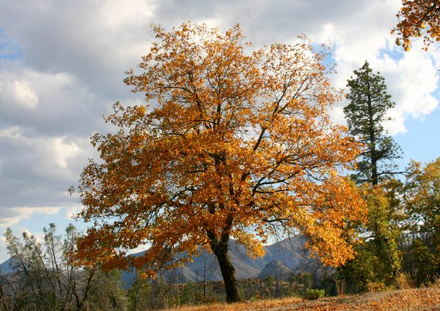 Black Oak Tree In Autumn Colors Ispid 4435250 Get More