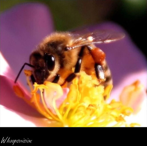 Bee | by whoops vision