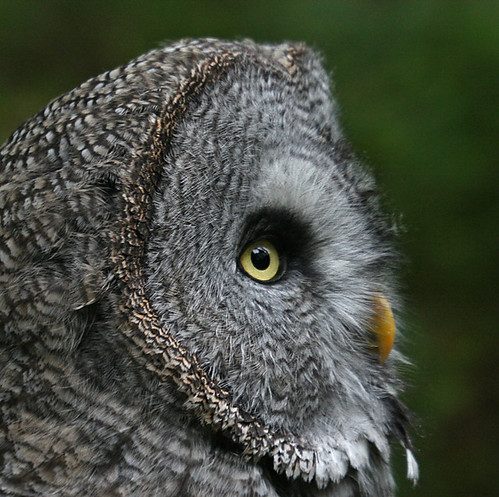 Great Grey Owl 2 - Bartkauz 2 | by pe_ha45