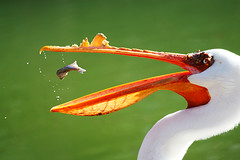 White pelican with lunch in midair (Featured in book, newspapers and nature calendar) | by flickrgao
