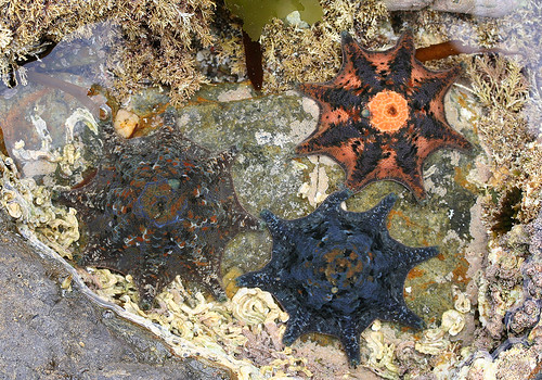 United colours of Starfish | by Nuytsia@Tas