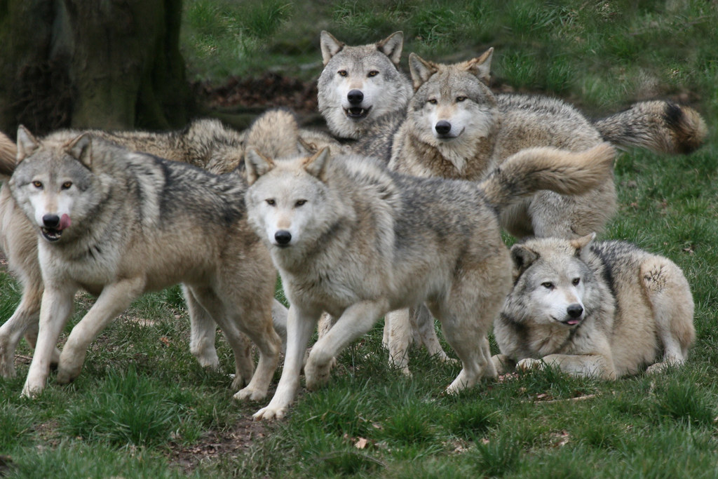 Grey wolf pack ...