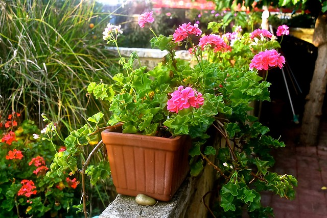 Our geraniums are doing just fine this morning - 16 February, 2017