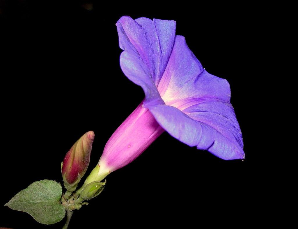 Good morning common name blue dawn flower oceanblue morn flickr good morning by js the wanderer izmirmasajfo