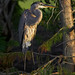 Great Blue Heron (Wild Bird)