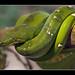 Emerald Tree Boa (Corallus caninus, Hundskopfboa)
