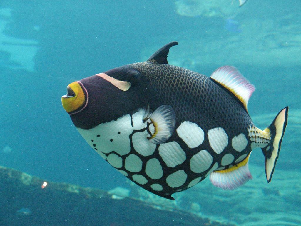 clown trigger fish mark turner flickr