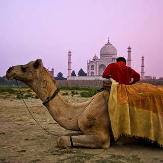 The Wandering Camel at the Taj | by Stuck in Customs