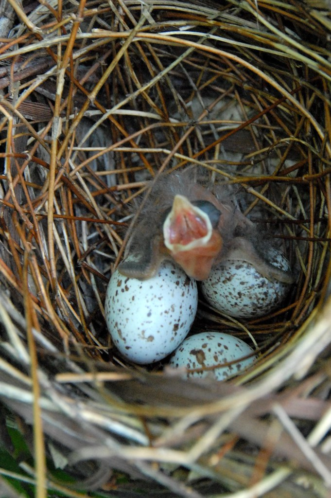 Baby Cardinal in nest with 3 eggs   Notice the different ... Bird Nest With Bird