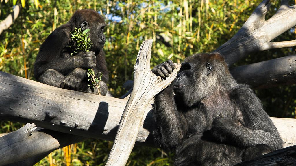 西部低地大猩猩母子。圖片來源:Tim Wang(CC BY-SA 2.0)