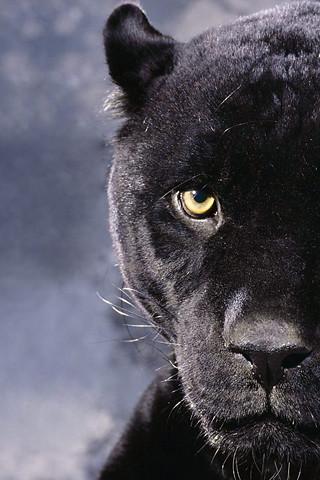 Puma Zwart Dier