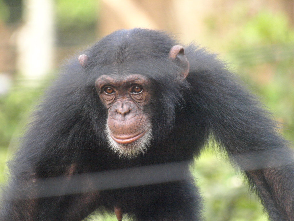 Sierra Leona Tacugama Chimpanzee Sanctuary