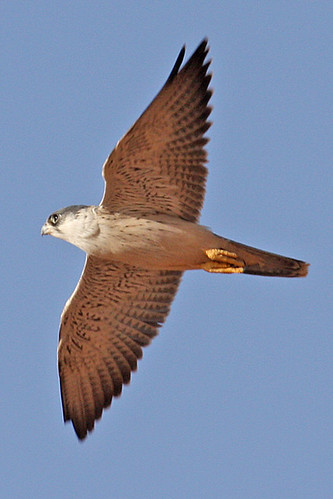 032054-IMG_4813 Grey Falcon (Falco hypoleucos) | by ajmatthehiddenhouse