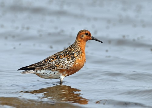Red-Knot_Adrian-Boyle_small
