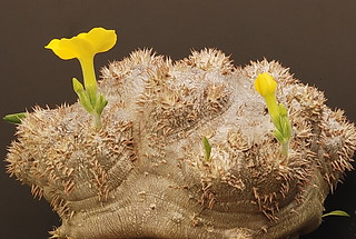 Pachypodium brevicaule | by graftedno1