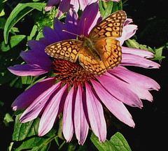 Variegated Fritillary On Purple Coneflower | by jrix