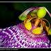 Ballarina hawaiana