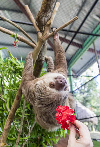 Hoffmann's two-toed sloth Gamboa Wildlife Rescue pandemonio 2017 - 28 | by Eva Blue