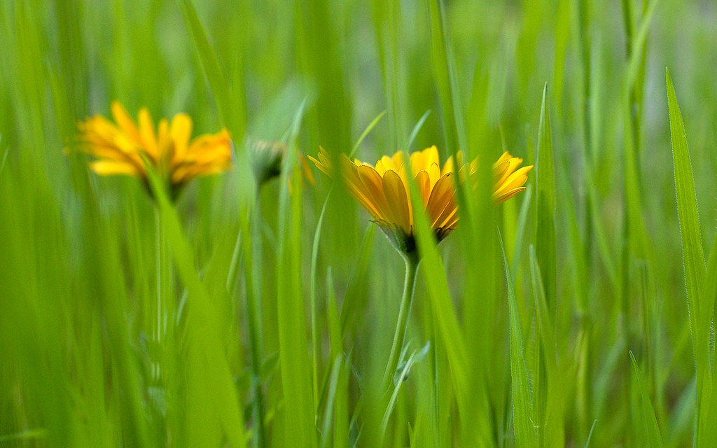 Flowers in the tall grass getty angelo desantis flickr flowers in the tall grass by angeloangelo mightylinksfo
