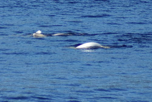 DSC02571 Beluga with calf | by Jenny & Jan