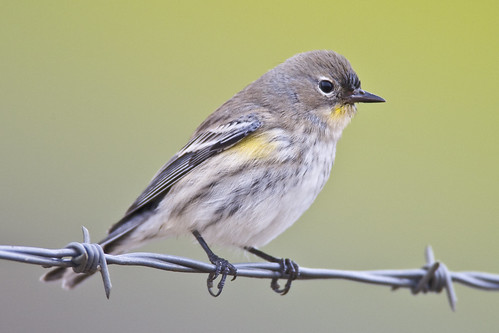 Yellow-rumped Warbler (Audubon's) Dendroica coronata bird in Morro Bay, CA | by mikebaird