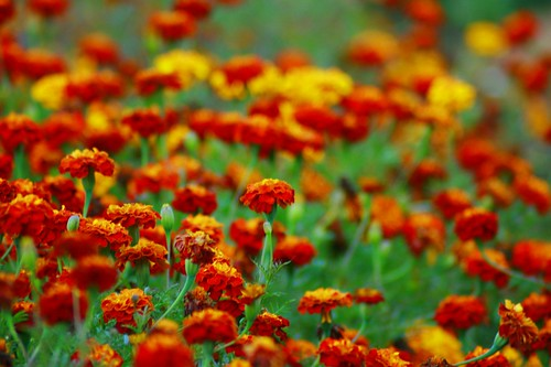 Sea of Marigold(Picnik) | by Swami Stream