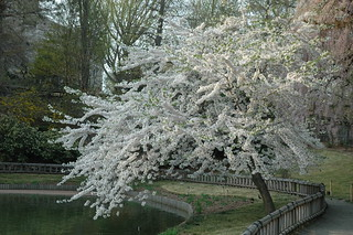 Flowering cherry in Japanese Hill-and-Pond Garden | by Brooklyn Botanic Garden