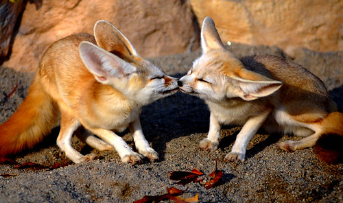Kissing fennec fox | by floridapfe