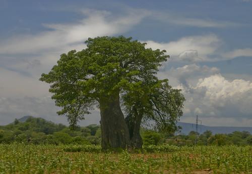 Bayobab Tree Adansonia Digitata Adansonia Digitata The