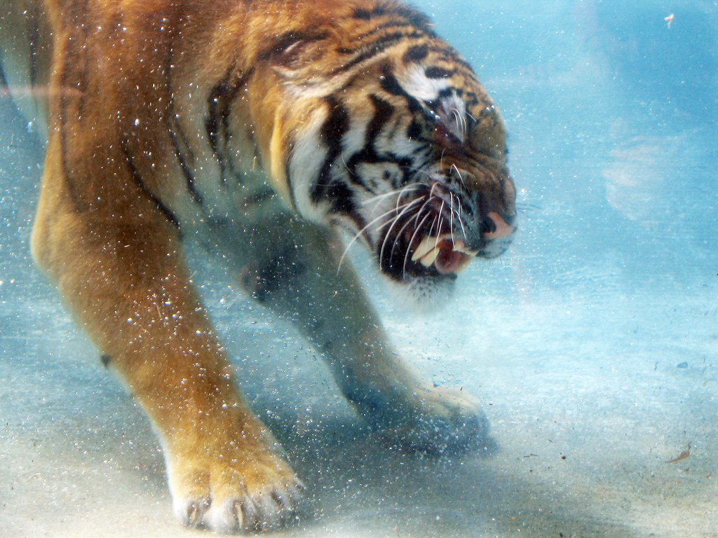 cool tiger wallpapers free