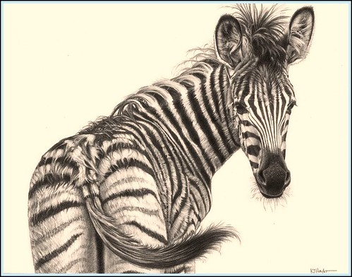 zebra pencil drawing - photo #4