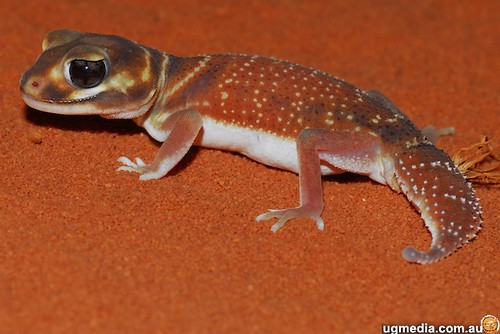 Smooth Knob Tailed Gecko Nephrurus Levis Occidentalis