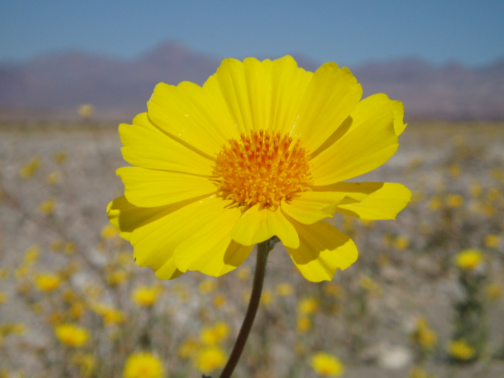 Death Valley Flowers 03 Desert Gold Geraea canescens in …