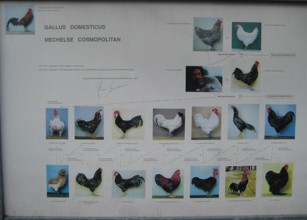 Cosmopolitan Chicken Family Tree The Artist Is Breeding