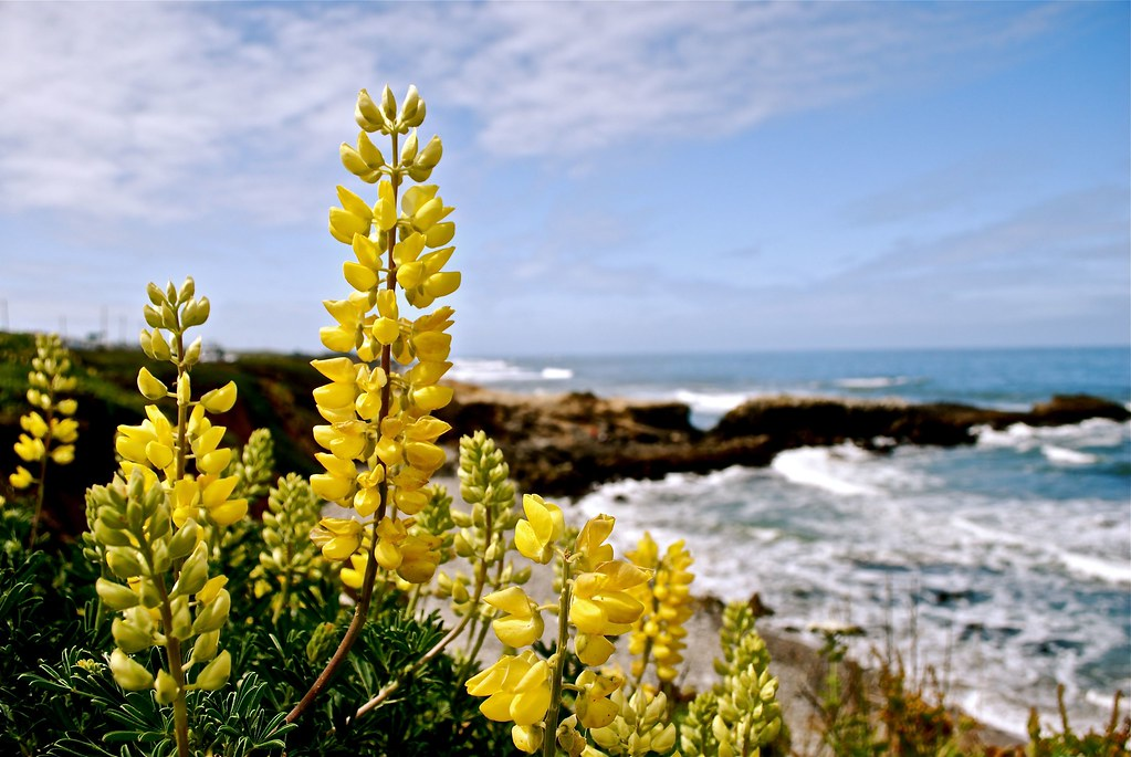 Lupinus Arboreus Al Lado Del Mar Miguel Vaca Flickr
