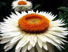 Daisy, daisy... | by Mary Trebilco